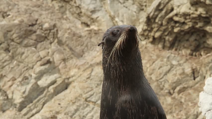 Young female sea lion in front of rocky cliff, kaikoura, new zealand.