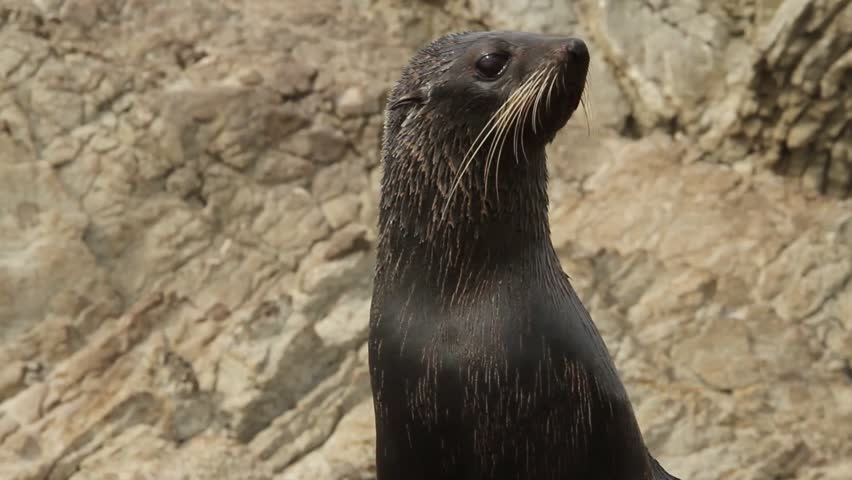 Young female sea lion looks around in front of rocky cliff, kaikoura,new zealand