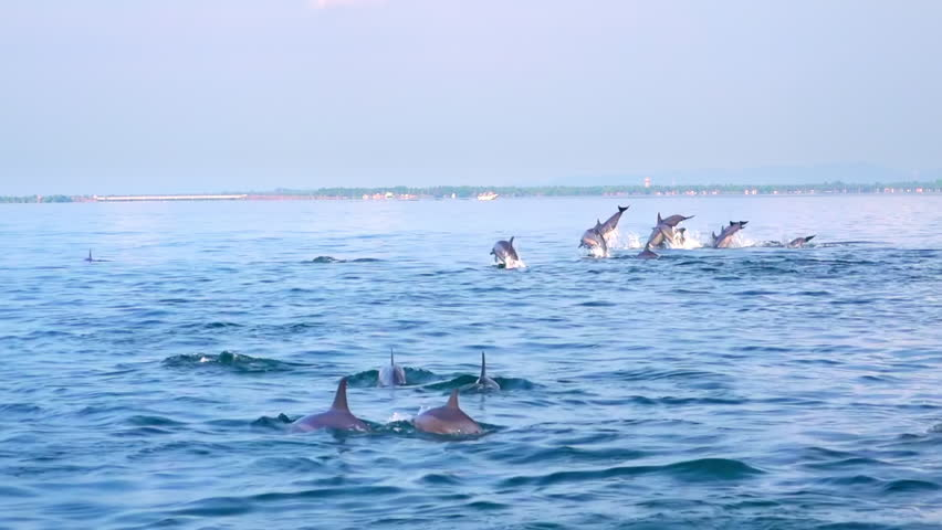 Big group of porpoising Spinner Dolphins (Stenella longirostris). Gorgeous marine mammals swimming and breaching off. Sea animals movement and migration concept. Sri Lanka. Back view. Slow motion. | Shutterstock HD Video #24810023