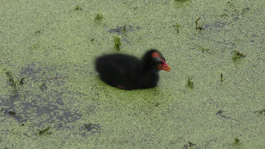 Common Gallinule chick in Florida swamp #24813713