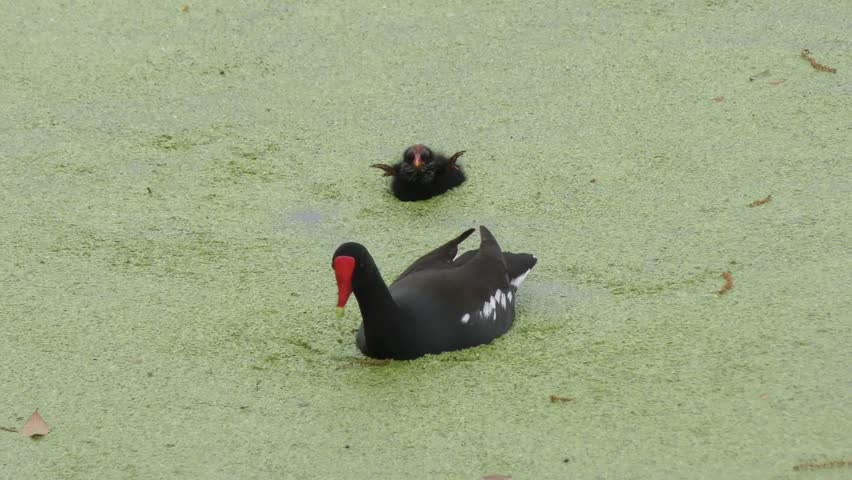 Common Gallinule feeds its chick in Florida swamp #24813953