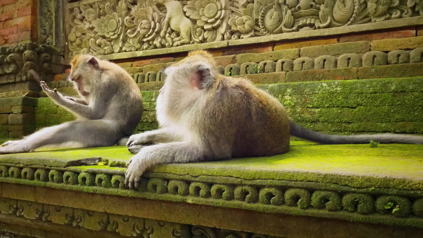 Cute infant baby monkey with family in ancient sacred Bali hindu temple in Ubud. Monkey Forest park travel landmark and tourist destination site in Asia