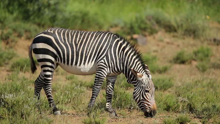 A Cape mountain zebra (Equus zebra) grazing in natural habitat, Mountain Zebra National Park, South Africa