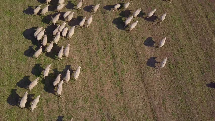 Aerial view of a farm with sheeps
