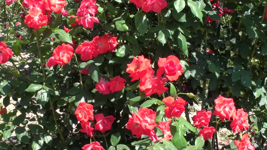 This Is A Beautiful Natural Video Of Rose Flowers In The Garden Stock Footage 2506133