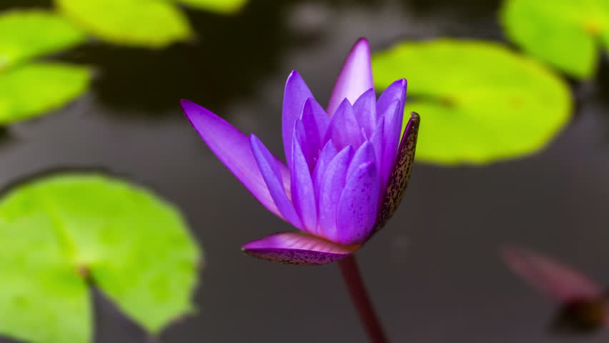 Timelapse, the Lotus opens at dawn