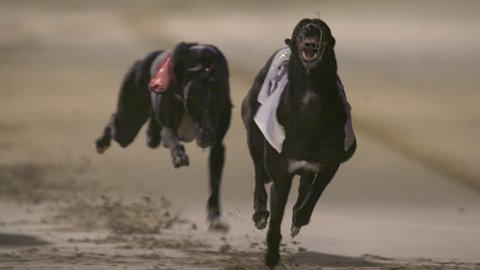 The hare goes through shot during a greyhound race. Shot in slow motion