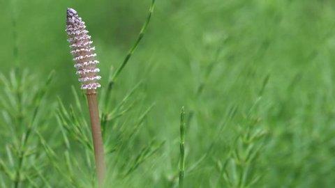 Wood horsetail (Equisetum sylvaticum), shot with shallow DOF