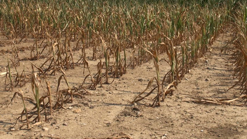 Field of corn dried up and damaged from severe drought conditions and heat in the Midwest United States. | Shutterstock HD Video #2519573