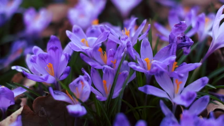 Beautiful Landscape With Closeup Purple Carpet Of Blossoming Crocus Flowers In The Forest Spring Mood