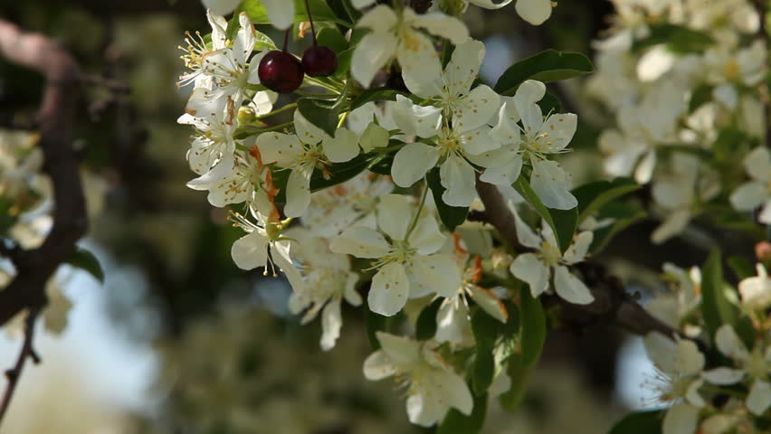 Honeybee crawls among the white blooms of a flowering crabapple tree.