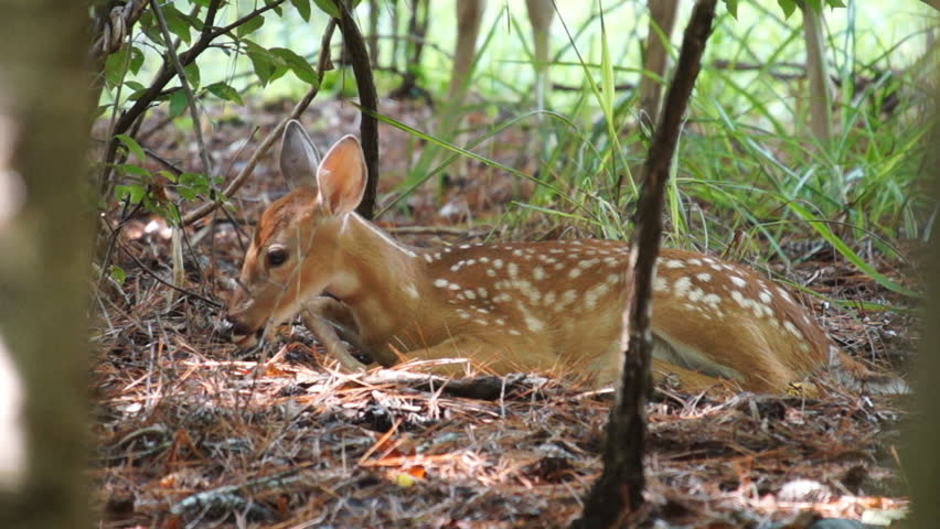 Whitetail Deer fawn bedded