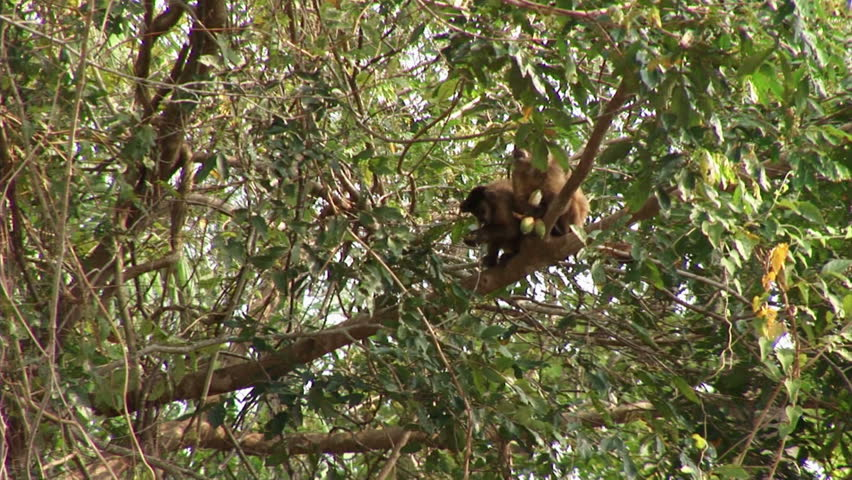 Brazil: Amazon river region fauna: monkeys running on a trees