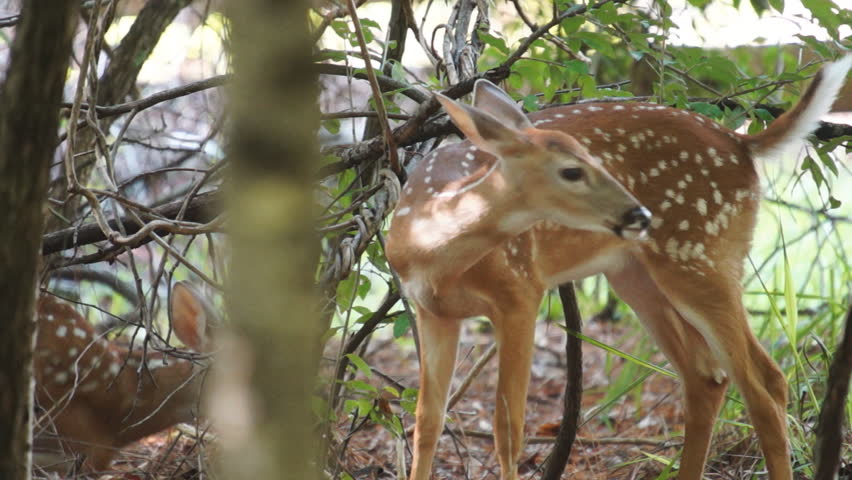 Whitetail Deer fawn, slow motion,1/2 natural speed