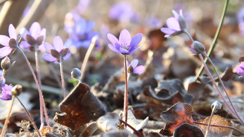 Spring flowers. Anemone hepatica blooming in the forest. | Shutterstock HD Video #25420253