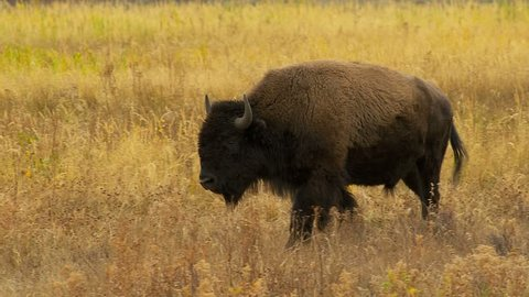 Large bison running through field of golden grass in Yellowstone National Park