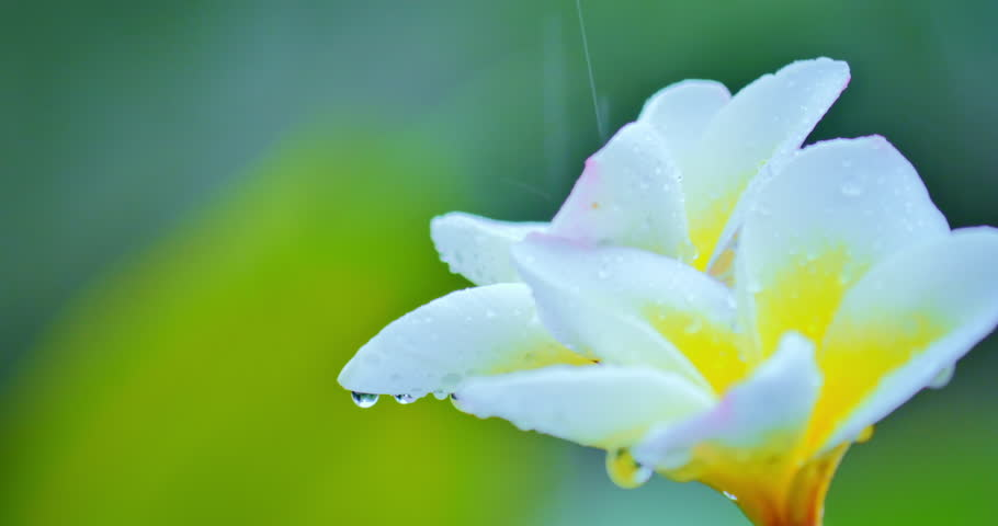 Exotic Tropical White Blooming Flower Stock Footage Video 100
