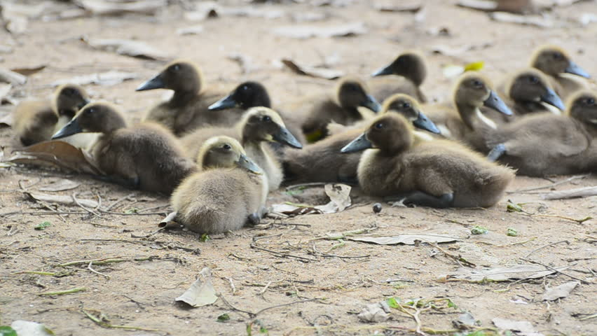 Little Khaki Campbell Duck On Stock Footage Video 100 Royalty Free 25478693 Shutterstock
