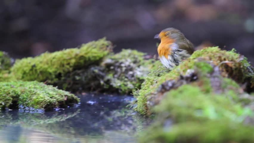 Robin rides smoothly on green moss and forest bathing in a puddle