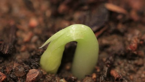 Small Green Plants Growing Germinating germination Seeds pea Sprouts Time Lapse