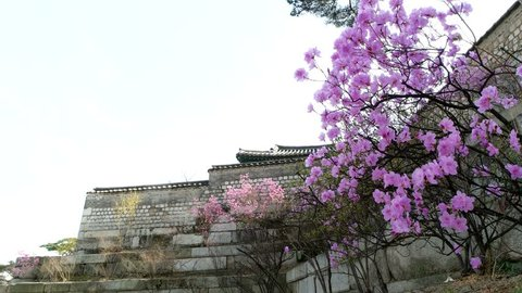 Korean rhododendron flowers in the old palace.