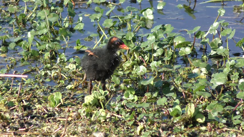 Common Gallinule chick grooming its feathers #25703933
