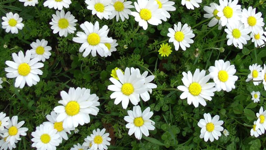 Header of daisy