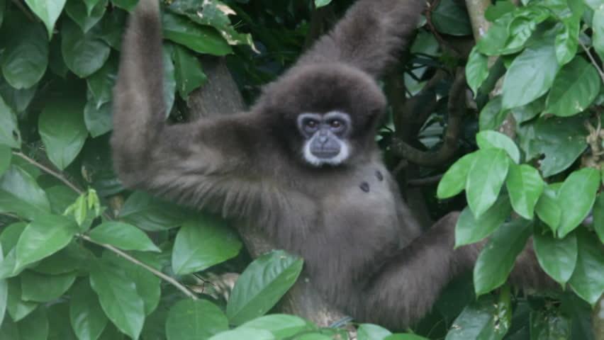 Howler monkey | Shutterstock HD Video #2580443