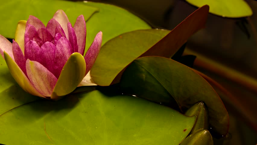 Time lapse opening of water lily flower.Motion:Lotus flower | Shutterstock HD Video #25902782
