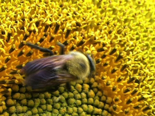 Bee on Sunflower 01