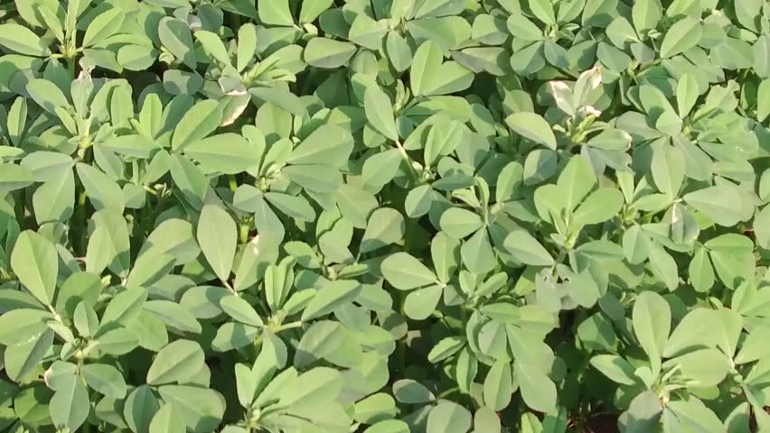 Fenugreek crop field, Salunkwadi, Ambajogai Beed, Maharashtra, India, southeast, Asia.