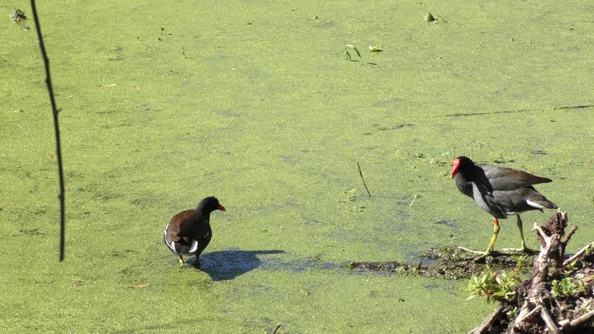 pair of Common Gallinules in Florida swamp #25998743