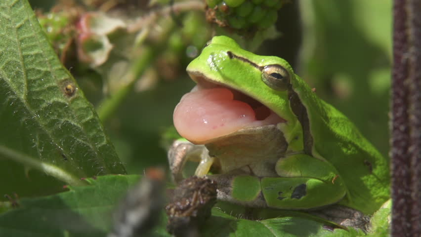 European tree frog trying to catch a fly with his tongue.