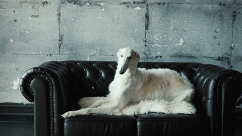 Luxury dog lies on the couch
