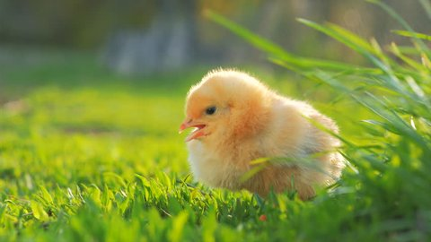 Close up newborn yellow chicken in warm tone and beak on the grass field on green background. Beautiful and adorable of little chick on floor of farm for design and decorative. Easter concept