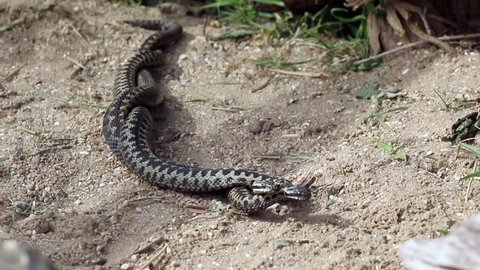 Male Adders Dancing / Fighting. ( Vipera berus ) Entangled in Each Other.