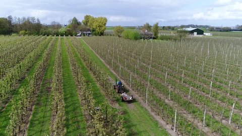 Aerial of farmer on tractor driving over fruit orchard bird eye view showing many fruit trees pear apple cherry with early white blossom on crowns of trees beautiful view of fruit production farm 4k