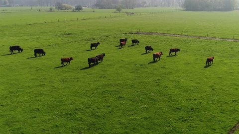 Aerial view of cattle group of cows walking slowly over beautiful pasture farm landscape bright green grass from sunshine drone following Aberdeen Angus cows slowly from the right side of group 4k