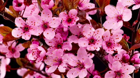 Pink Flowers Blossoms on the Branches Cherry Tree. Black Background. Timelapse