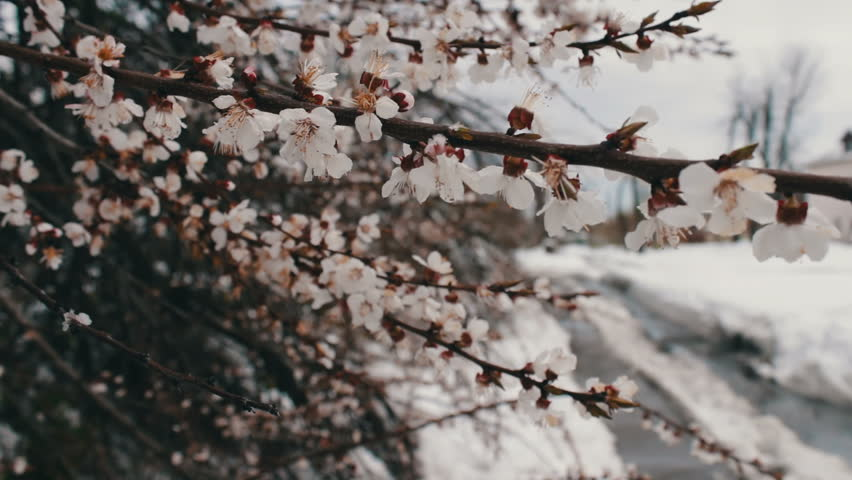 A rare phenomenon. Snow in spring. Branches of the Blossoming apple tree on which the snow lies. Snow on flowers.Climate Change | Shutterstock HD Video #26146463