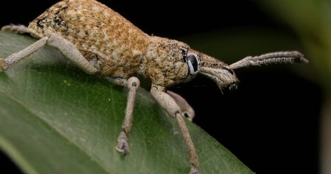 Wattle Pig Weevil - Leptopius maleficus? - A weevil is a type of beetle from the Curculionoidea superfamily.
