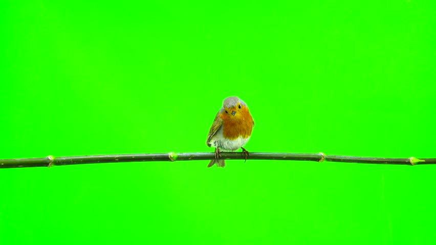 European Robin (Erithacus rubecula) isolated on green screen | Shutterstock HD Video #26155643