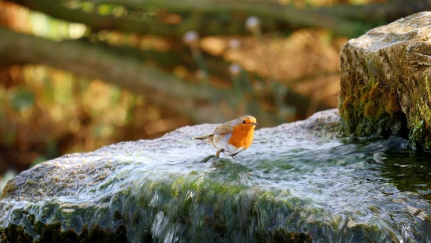 wildlife birds - Robin splashing in water: Stafford, England - April 2017