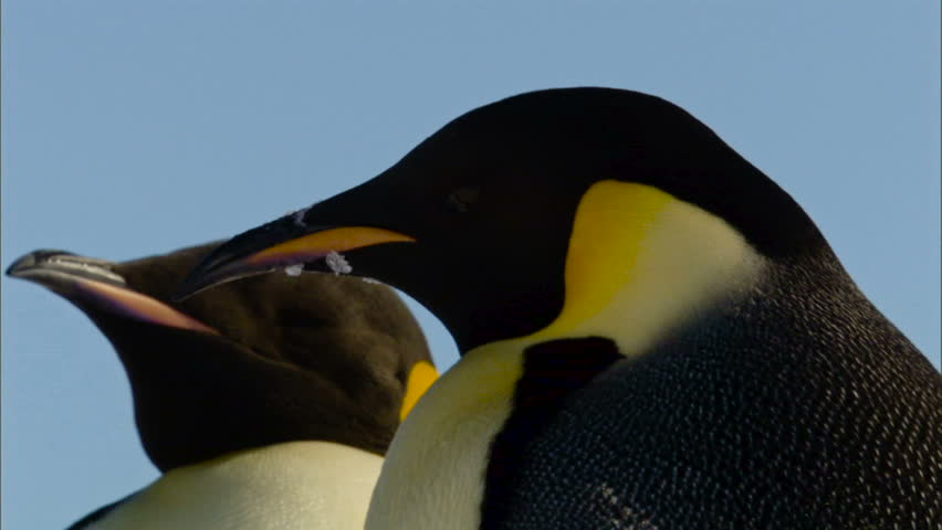 Two emperor penguins against clear sky / Antarctica