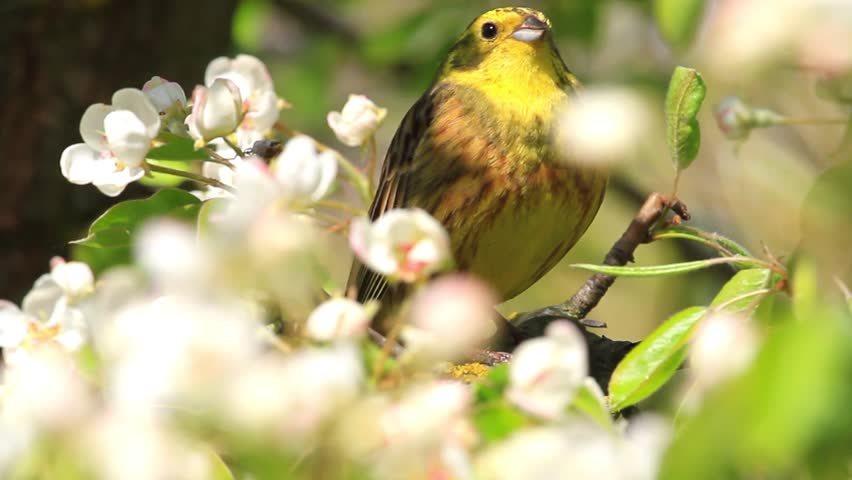 Beautiful Yellow Bird With Young Leaves And White Flowers