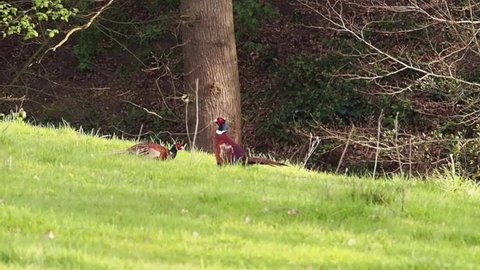 Male pheasant's displaying in fields during the breeding season, Henbury, Macclesfield, Cheshire, Uk