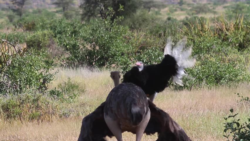 Ostrich dancing Ostrich dancing from Kenya  | Shutterstock HD Video #26299163