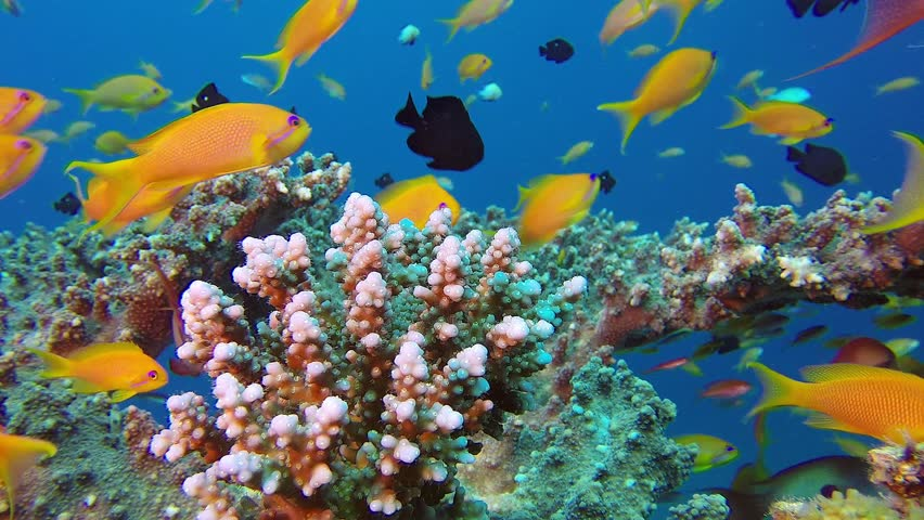 Colorful fish on coral reef red sea stock footage video for Colorful fish pictures