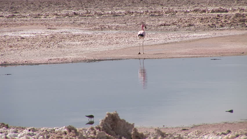 Flamingo near the lake in Atacama Desert, Chile