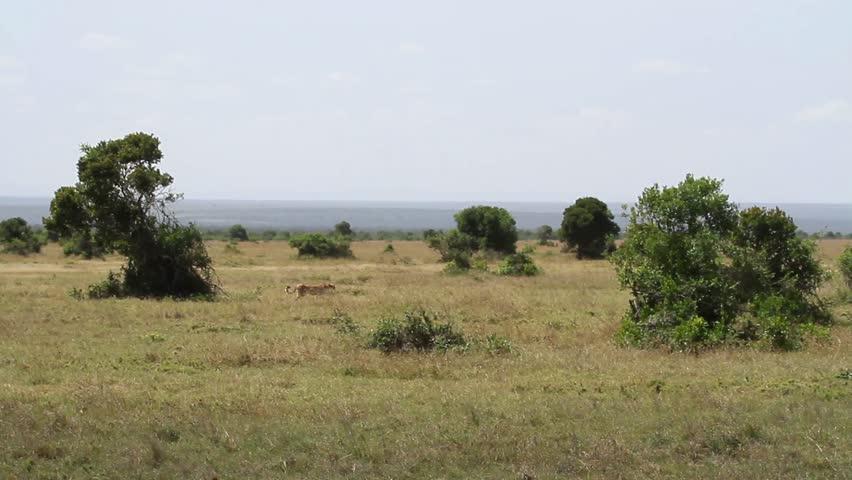 Cheetah walking in the field from Kenya